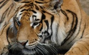 20061105-00513_tiger_1680x1050